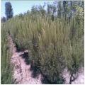 Fıstık Çamı - Pinus Pinea