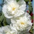 Katmerli Ağaç Hatmi - Hibiscus Syriacus