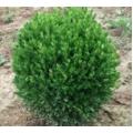 Top Şimşir - Buxus Sempervirens Rotundifolia